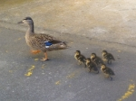 A mother duck and her duckling family